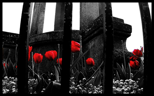 An image of poppies where the image is black and white but the poppies are bright